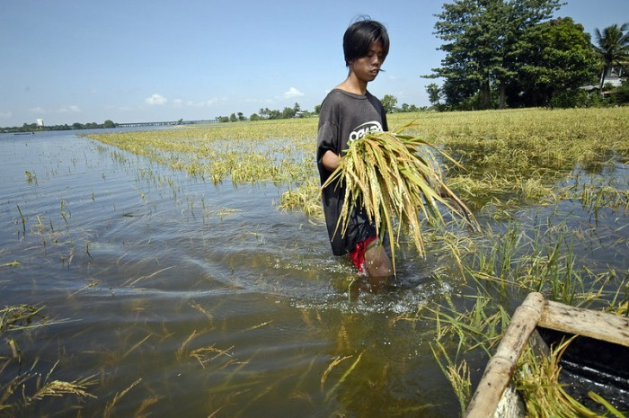Man walking through a flooded ricefield. Photo: Nonie Reyes / World Bank